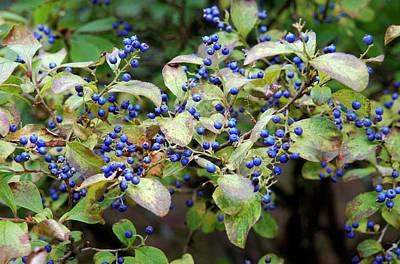 Sapphire Wall Art - Photograph - Sapphire Berries (symplocos Paniculata ) by Frank M Hough