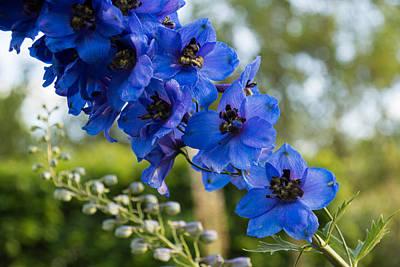 Photograph - Sapphire Blues And Pale Greens - A Showy Delphinium by Georgia Mizuleva