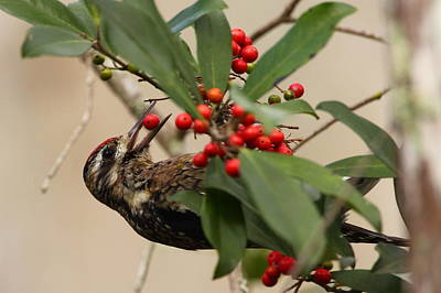 Sapsucker Wall Art - Photograph - Sapsucker Eating Holly Berries by Bruce J Robinson