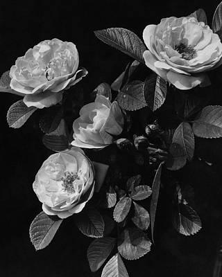 Photograph - Sarah Van Fleet Variety Of Roses by J. Horace McFarland