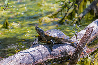 Pond Slider Photograph - Sardis Pond Turtle by Sharon Talson