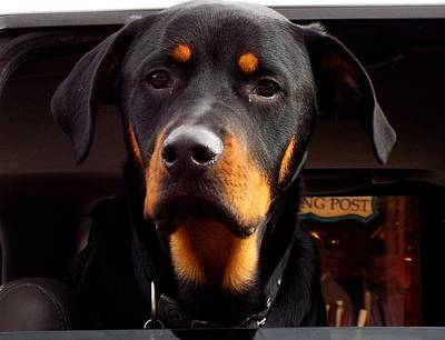 Photograph - Sarge-german Rottweiler by Cindy Croal