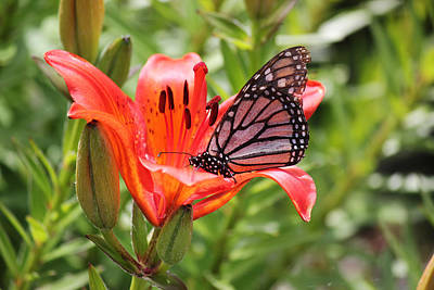 Photograph - Saskatchewan Prairie Lily And Butterfly by Ryan Crouse