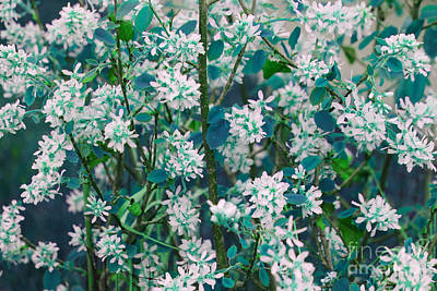 Photograph - Saskatoon Bush Blue by Donna Munro