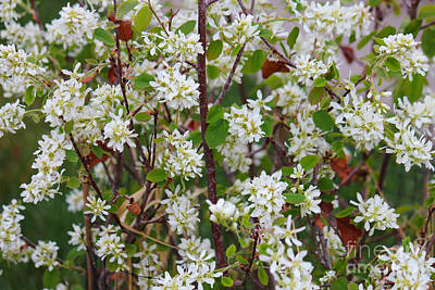 Photograph - Saskatoon Bush Floral by Donna Munro