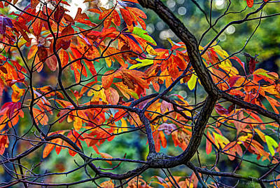 Photograph - Sassafras Leaves by Skip Tribby