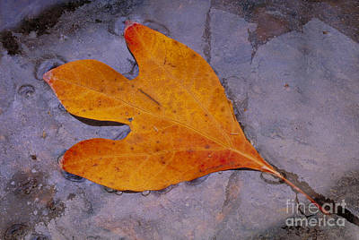 Photograph - Sassafras Sassafras Albidum Leaf by Larry West