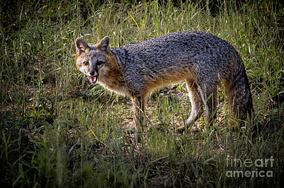 Photograph - Sassy Fox by Ronald Lutz
