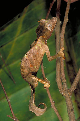 Photograph - Satanic Leaf-tailed Gecko by Gregory G Dimijian