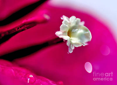 Photograph - Satin Droplet On Bougainvillea Stamen by Kaye Menner