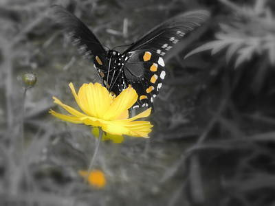Photograph - Satisfied Butterfly by Diannah Lynch