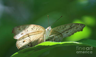 Photograph - Satyrs Butterfly - 2 by Jackie Farnsworth