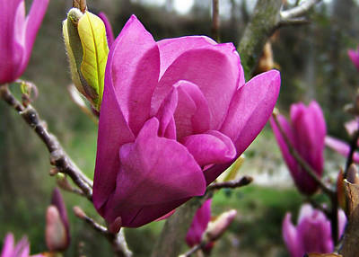 Photograph - Saucer Magnolia by William Tanneberger