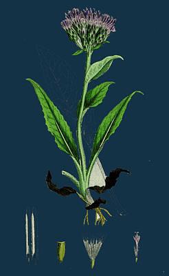 Botanica Drawing - Saussurea Alpina Alpine Saussurea by English School