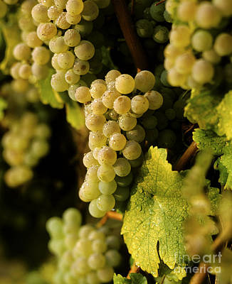 Photograph - Sauvignon Blanc Cluster by Craig Lovell