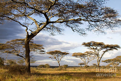 Photograph - Savanna Acacia Trees  by Chris Scroggins