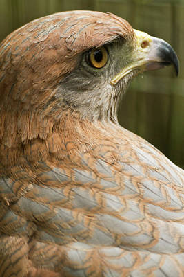 Sutton Photograph - Savannah Hawk, Buteogallus by William Sutton