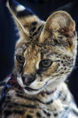 Savannah Jungle Cat Art Print