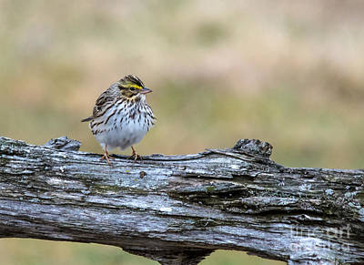 Landmarks Royalty Free Images - Savannah Sparrow Royalty-Free Image by Cheryl Baxter