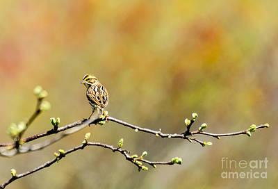 500mm Photograph - Savannah Sparrow Impression by Ilene Hoffman