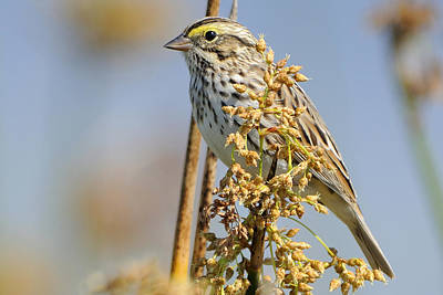 Photograph - Savannah Sparrow  On A Reed by Bradford Martin
