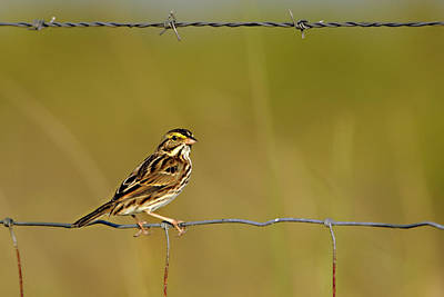 Photograph - Savannah Sparrow On A Wire Fence by Bradford Martin