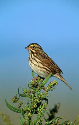 Sparrow Photograph - Savannah Sparrow by Paul J. Fusco