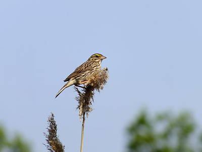 Photograph - Savannah Sparrow by Peggy King