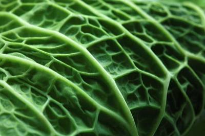Savoy Cabbage Art Print by Mauro Fermariello