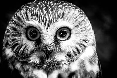 Photograph - Saw-wet Owl by Brad Bellisle