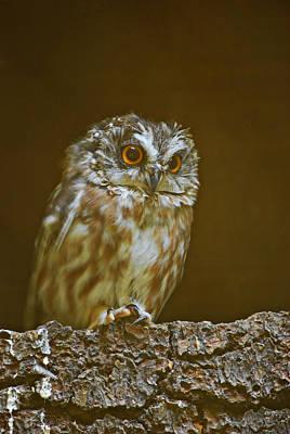 Saw-whet Owl Art Print