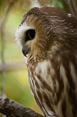 Saw-whet Owl Pictures  14 Art Print