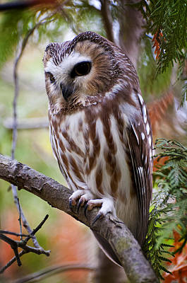 Saw-whet Owl Pictures  15 Art Print