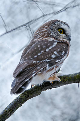 Saw-whet Owl Pictures  9 Art Print