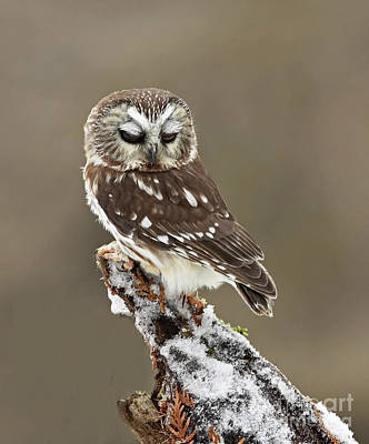 Saw Whet Owl Sleeping In A Winter Forest Art Print by Inspired Nature Photography Fine Art Photography