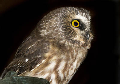 Photograph - Saw-whet Profile by Jean Noren