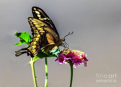 Sawallowtail Butterfly Art Print