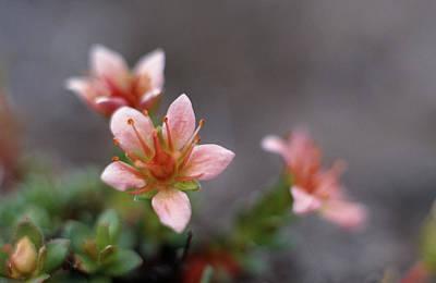 Saxifraga Nathorstii Flowers Art Print by Simon Fraser/science Photo Library