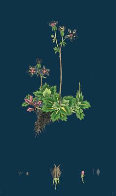 Botanica Drawing - Saxifraga Stellaris Starry Saxifrage by English School