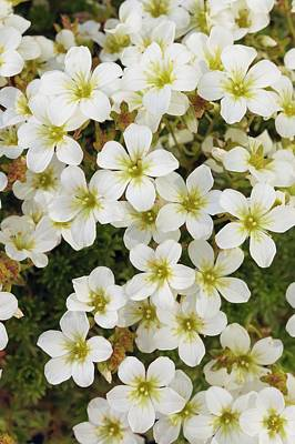 Saxifraga 'white Star' Art Print by Geoff Kidd/science Photo Library
