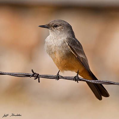 Say's Phoebe On A Barbed Wire Art Print by Jeff Goulden