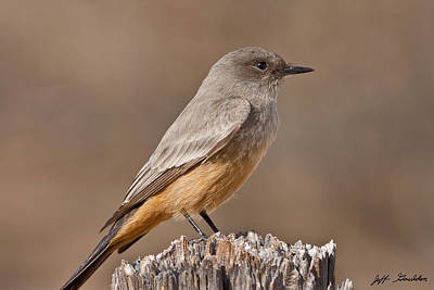Say's Phoebe On A Fence Post Art Print by Jeff Goulden