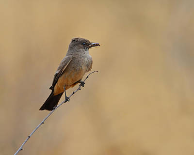 Kingbird Photograph - Say's Phoebe by Tony Beck