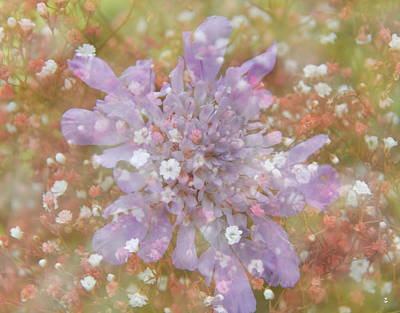Photograph - Scabiosa by Minartesia
