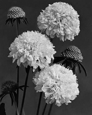 World Peace Photograph - Scabiosa Peace Flowers by J. Horace McFarland
