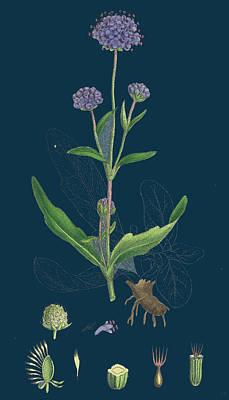 Botanica Drawing - Scabiosa Succisa Devils-bit Scabious by English School