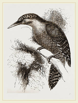 Woodpecker Drawing - Scaled Woodpecker by Litz Collection