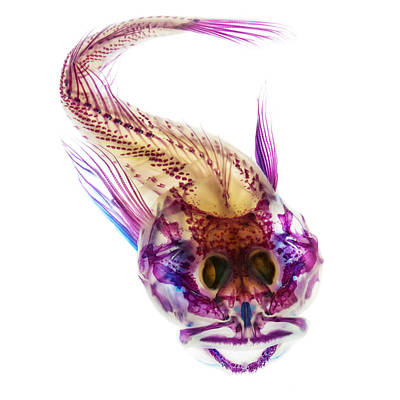 Skeletons Photograph - Scalyhead Sculpin by Adam Summers