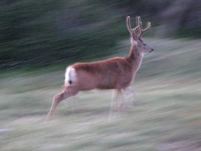 Scapegoat Deer Running Art Print by Pam Little
