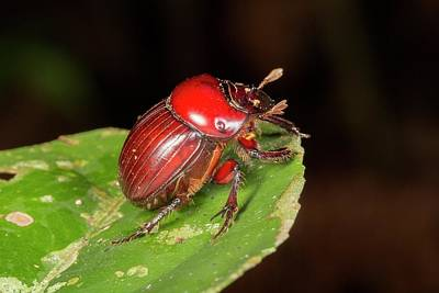 Neotropical Photograph - Scarab Beetle by Dr Morley Read